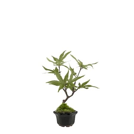 Flora maple H16 cm