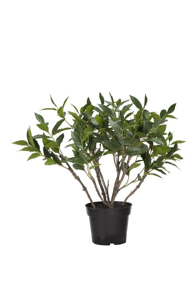 Flora bay leaf H53 cm